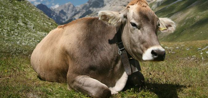 Akıllı tasma inekler için de geldi